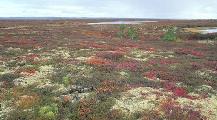 Les espèces que l'on peut trouver dans la toundra présentent des particularités uniques au monde. Le saule arctique (ou salix arctica) par exemple, possède des fibres transparentes afin d'attirer la lumière et de se réchauffer. D'autres plantes, à l'instar de la très colorée saxifrage à feuilles opposées (saxifraga oppositifolia), maintiennent leurs racines en surface à cause du permafrost (le gel permanent qui touche les profondeurs du sol).