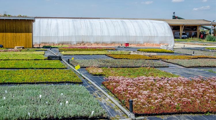 Sedums de différentes couleurs cultivés chez ECOVEGETAL