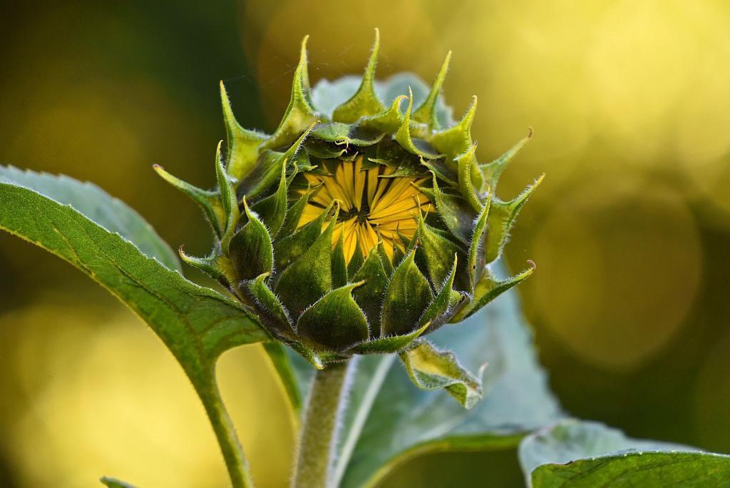 Exemple de plante vivace - Tournesol